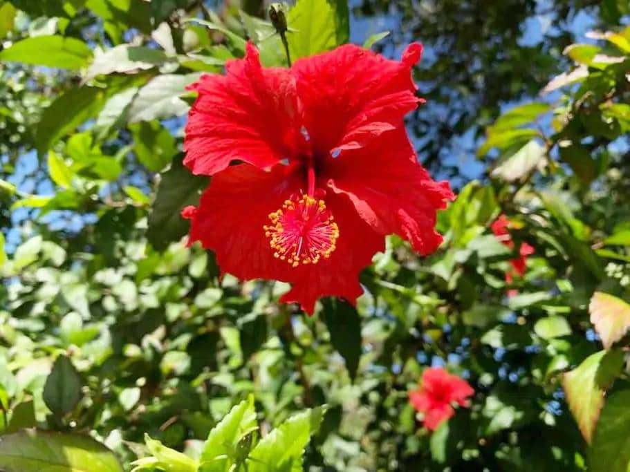 CC-P is surrounded by beautiful hibiscus