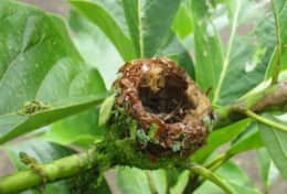 Humming Bird's Nest