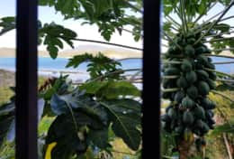 Papaya and other tropical fruit trees in the garden!
